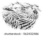 tea plantation landscape in... | Shutterstock .eps vector #562432486
