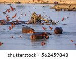 hippos in the south luangwa... | Shutterstock . vector #562459843
