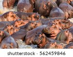 hippos in the south luangwa... | Shutterstock . vector #562459846