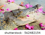 Crocodile Open Mouth With Swee...