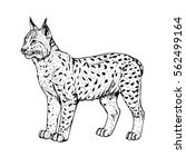 hand drawn lynx. retro... | Shutterstock .eps vector #562499164