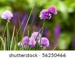 Beautiful Blooming Chives  Sho...