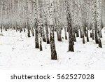 Birch Forest Winter Landscape