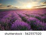 lavender beautiful meadow....   Shutterstock . vector #562557520