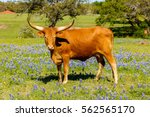 a beautiful watusi longhorn mix ... | Shutterstock . vector #562565170