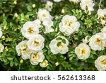 Stock photo white roses 562613368