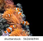 sea anemone and clown fish in... | Shutterstock . vector #562646944