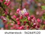 pink flowers blooming on tree... | Shutterstock . vector #562669120