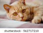 Stock photo british shorthair cat lying down 562717210
