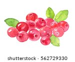 watercolor cranberry . | Shutterstock . vector #562729330