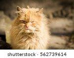 harsh red cat | Shutterstock . vector #562739614