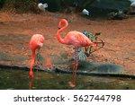 flamingos | Shutterstock . vector #562744798