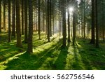 forest of spruce trees... | Shutterstock . vector #562756546