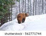 wild brown bear in winter forest | Shutterstock . vector #562771744