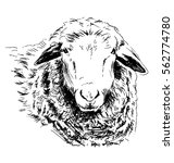 hand sketch head sheep. vector... | Shutterstock .eps vector #562774780