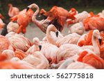 flock of pink caribbean... | Shutterstock . vector #562775818