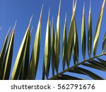 Natural Green Palm Tree And...