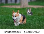photo of welsh corgi dog family ... | Shutterstock . vector #562810960