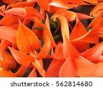 bustard teat  tau bert | Shutterstock . vector #562814680