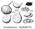 onion hand drawn set. full ... | Shutterstock . vector #562838770