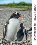 The Magellanic Penguin With He...