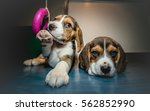 Stock photo portrait of two beagle puppies 562852990