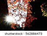 Autumn Leaves Of Maple In Zen...