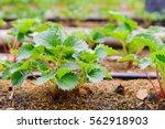Farmer Planting Strawberry