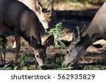 Mule Deer Family Eating Veggies ...