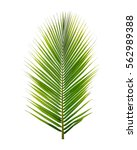 The Coconut Palm Leaves...