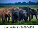 wild elephants in national park ... | Shutterstock . vector #563004454