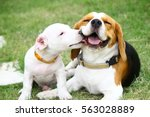beagle and jack russell  | Shutterstock . vector #563028889