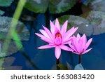 close up beautiful pink lotus... | Shutterstock . vector #563083420