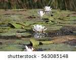 water lily | Shutterstock . vector #563085148