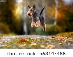 Small photo of Dog breed Airedale