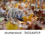 west european hedgehog ... | Shutterstock . vector #563166919