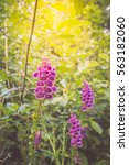 Small photo of Purple foxglove flowers (digitalis purpurea, common foxglove, purple foxglove or lady's glove) in the summer sunlight, Abel Tasman National Park, South Island, New Zealand.