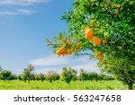orange   orange tree orange park   Shutterstock . vector #563247658