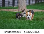Stock photo photo of welsh corgi dog family playing in park on green grass pembroke corgi puppy having fun 563270566
