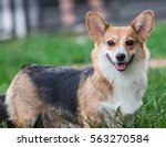 Photo Of Pembroke Corgi Dog...
