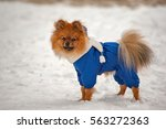 Small photo of The puppy in the blue sweater,dress is staying and looking at you t with interest in winter with white scarf