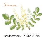 boswellia sacra  commonly known ... | Shutterstock .eps vector #563288146