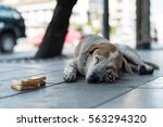 Pity Old Dog Laying Down On Th...