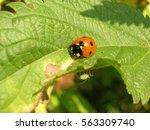 Ladybird On A Nettle Leaf