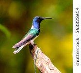 Blue Headed Humming Bird