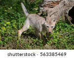 Young Coyote Pup Walking In...