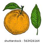 orange fruit. vector hand drawn ... | Shutterstock .eps vector #563426164