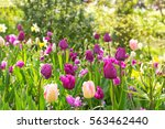 pink and purple tulips... | Shutterstock . vector #563462440