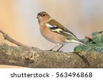 Common Chaffinch  Fringilla...