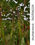 Small photo of Fresh acacias wattles Acacia fruit on tree